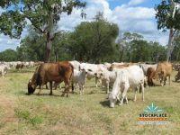 110 Cows & Calves