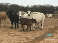 80 first calf cows & composite calves