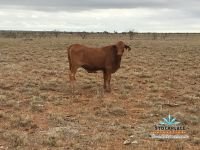 #7 Commercially accredited Doughtmaster Heifers