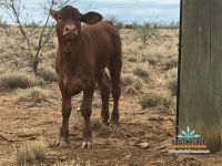 200-250 Commercially Accredited Droughtmaster Cows and Calves