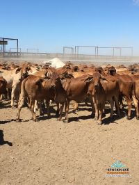 800 excellent breeder quality 230 kg heifers