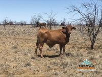160 Very good quality Droughtmaster steers