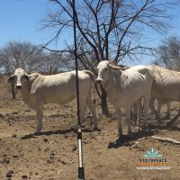 300 joined Brahman heifers to be preg tested