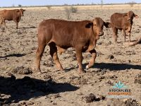 200 Excellent Quality Droughtmaster Steers