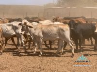 Young cattle for sale