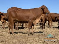 AuctionsPlus 27-03  Lazy A Droughtmaster Heifers!