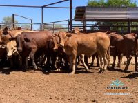 112 Backgrounder Steers - AUCTIONS PLUS 3rd April 2020