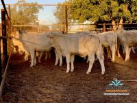 160 Mixed sex Charolais/Charbray Weaners AuctionsPlus 22/05