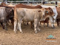 28 Mixed breed steers auctions plus 29/5/20