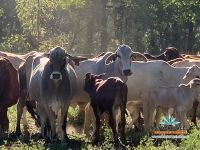80 Cows & Calves Charters Towers
